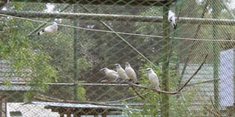 Mau Menangkarkan Burung, Jangan Tunggu Dapat Bibit yang Ideal!