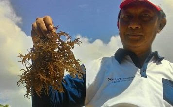 Surat untuk Bu Susi Pudjiastuti tentang Potensi Biosalt dari Rumput Laut Nunukan