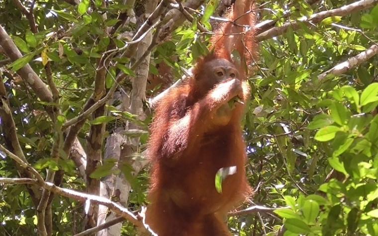 Ini Fakta Unik Orangutan di Gunung Palung
