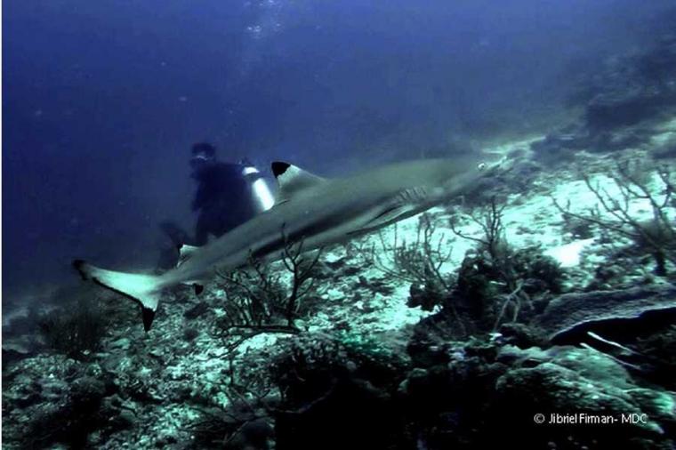 Hiu: Predator Laut yang di Eksploitasi? Lalu, Apa yang Harus Kita Lakukan?