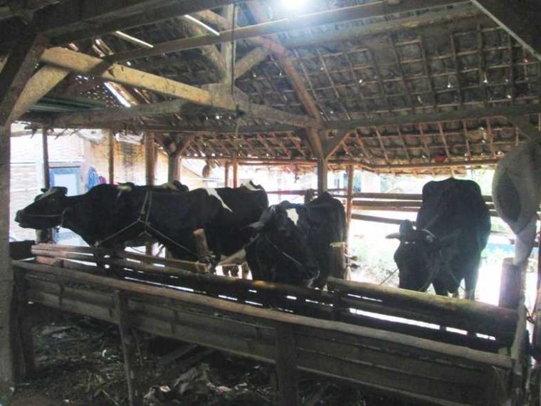 Menikmati Susu Segar Usai Pemerahan di Dusun Brau dan Potensi di Dalamnya