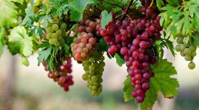 12 Manfaat Buah Anggur Untuk Kesehatan (No. 9 Sangat Menakjubkan)