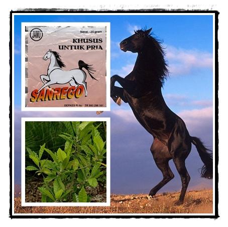 Sanrego Berkhasiat Perkasa Kuda Jantan