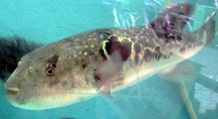 Mencicipi Fugu, Sang Ikan Kematian