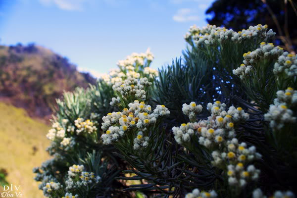 Belajar dari Edelweis tentang Keabadian, Ketulusan dan Pengorbanan