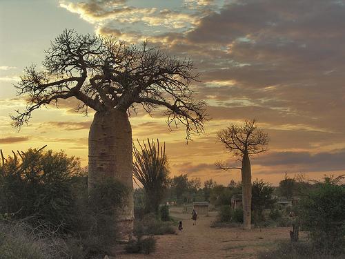 Misteri Pohon Raksasa