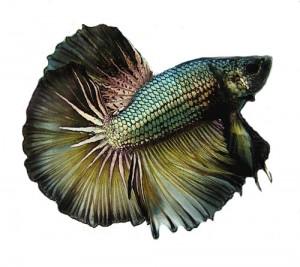 Tips Memilih Ikan Cupang yang Baik
