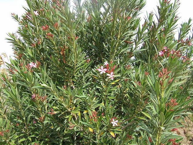 Oleander: Tanaman Hias Paling Beracun di Dunia