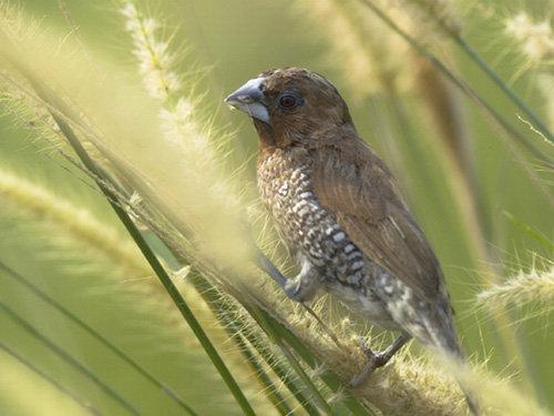 Bukan Hobi Biasa? Pelihara Burung Emprit