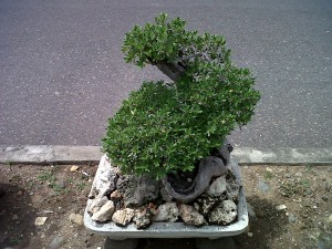 Bonsai Santigi, Kerasnya Alam Dipadukan dengan Keindahan
