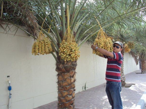 Pohon Korma Tertinggi di Dunia Ada di Dubai.