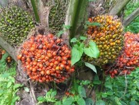 Demam Kelapa Sawit dan Marginalisasi Petani Lokal