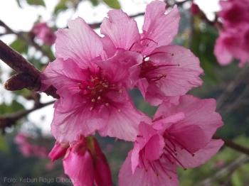 Bunga Sakura Mekar Di Cibodas Juli Ini Kompasiana Com