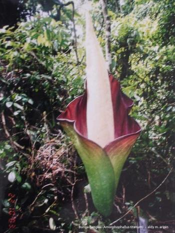 Download 88 Gambar Gambar Bunga Bangkai Raksasa Paling Keren