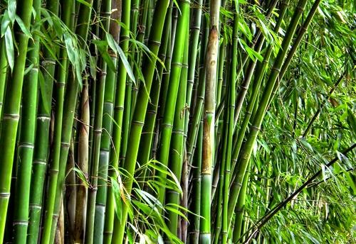 Tahukah Anda  Cara Pengawetan Bambu Secara Alami?