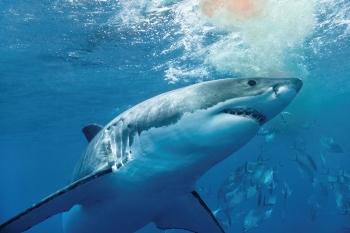 96 Gambar Ikan Hiu Predator HD Terbaru