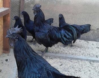 64+ Gambar Ayam Cemara Terbaik