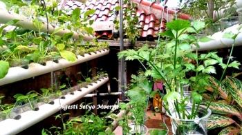 Serunya Berladang Di Atap Rumah Dengan Media Air