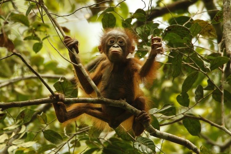 Orangutan Sangat Terancam Punah, Apa yang Harus Dilakukan?