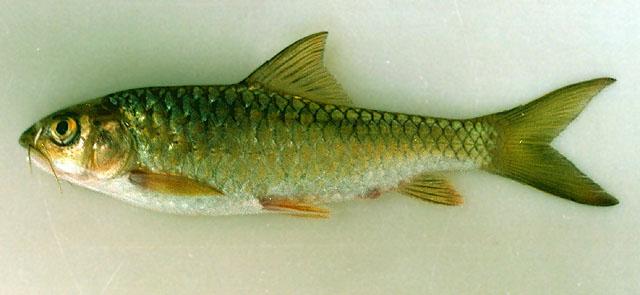 Orang Batak dan Ikan Batak