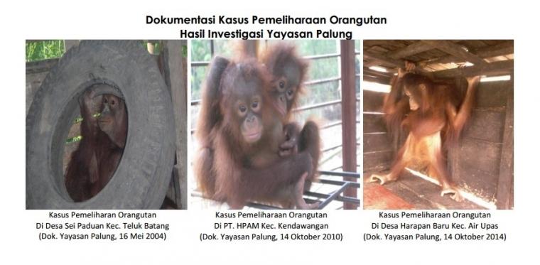 Ini Hasil Investigasi dan Penyelamatan Orangutan Dua Belas Tahun Terakhir di Tanah Kayong