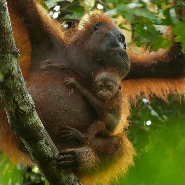 Peranan Penting Orangutan dan Hutan Bagi Kehidupan, Ini Alasannya