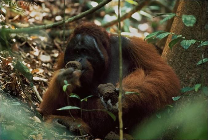 Mereka Dilindungi tetapi Semakin Terancam dan Terhimpit di Habitatnya