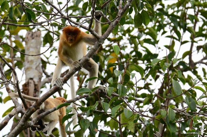 Si Hidung Mancung Endemik Kalimantan Ini Masuk dalam Daftar Terancam Punah