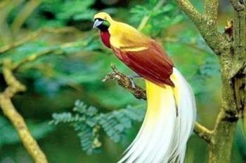 6800 Koleksi Gambar Burung Cendrawasih Dan Tifa Terbaru