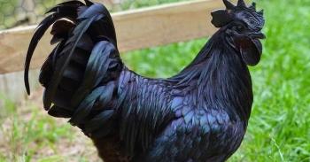 73+ Gambar Ayam Tulak Paling Bagus