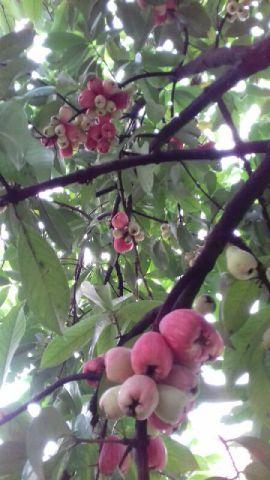 Membuat Pohon Jambu yang Lama Tidak Berbuah Kembali Berbuah Lebat