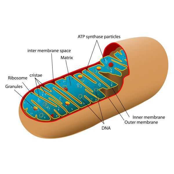 Terima Kasih Mitokondrianya, Bu