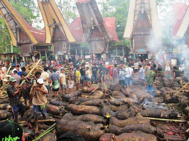 Pejantan Tangguh dari Toraja