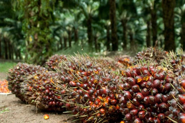 Kelapa Sawit, dari Minyak Goreng Menjadi Bioetanol