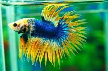 Unduh 460+ Gambar Nama Ikan Cupang HD Gratis