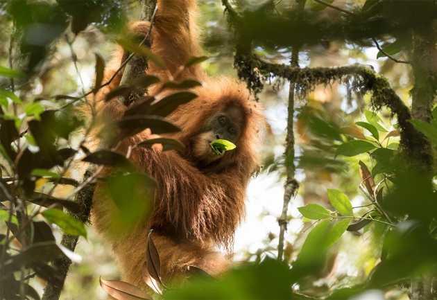 Penemuan Orangutan Tapanuli yang Menghebohkan Dunia