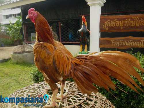 Informasi Keistimewaan Ayam Aduan Satria Sinekti