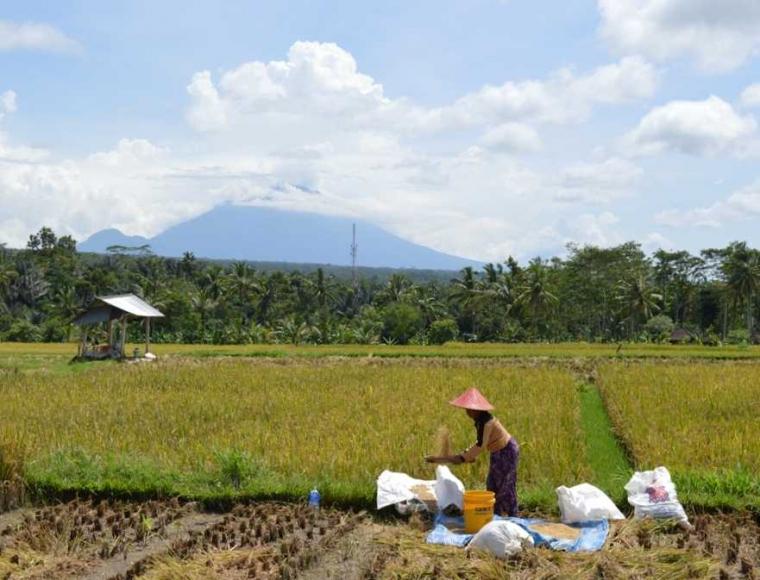 Kerugian Petani yang Terdampak Erupsi Gunung Agung