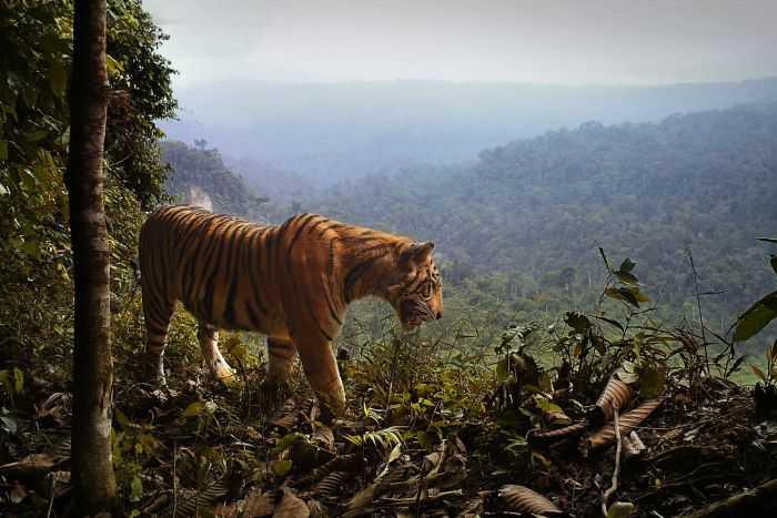 Harimau Sumatera Kini Kian Termarjinalkan