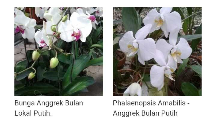 Menanam Butterfly Orchid di Media Pot