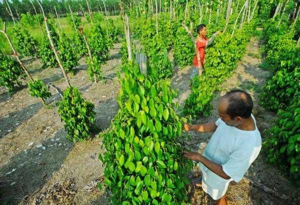 """""""Tiang Tajar Hidup"""" Meningkatkan Produktivitas Muntok White Pepper dalam Mengembangkan Industri Perkebunan Halal Bangka Belitung"""