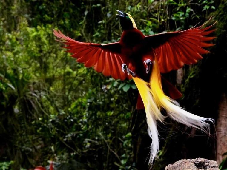 Cenderawasih Burung Langka Menyimpan Misteri