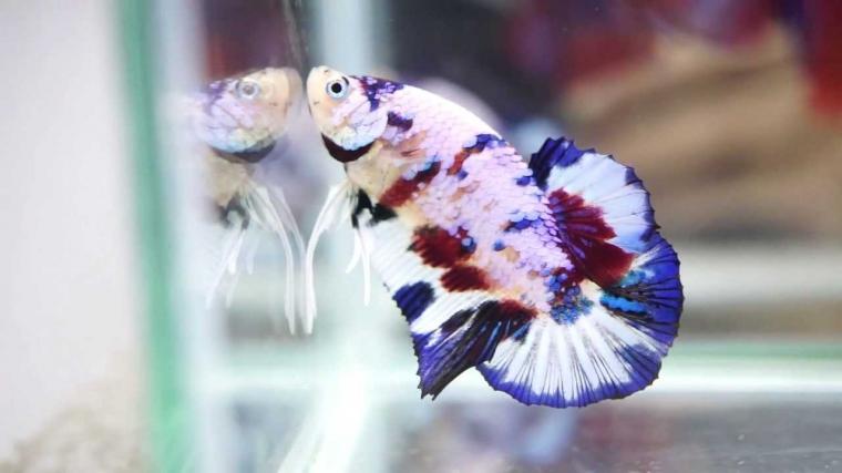 Ikan Cupang Koi Menjadi Cupang Hias yang Sangat Digemari Saat Ini