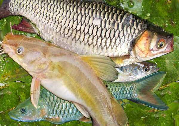 Di Sumatera Utara, Ikan Air Tawar Semakin Langka