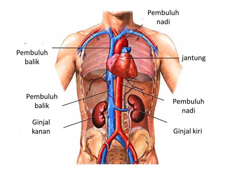 Jadwal Kerja Organ Tubuh Manusia Halaman All Kompasiana Com
