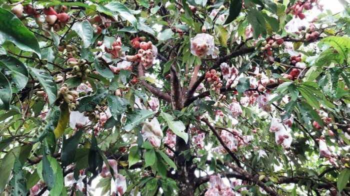 Bagaimana Caranya agar Buah Jambu Jamaika Tumbuh Bagus dan Lebih Besar?