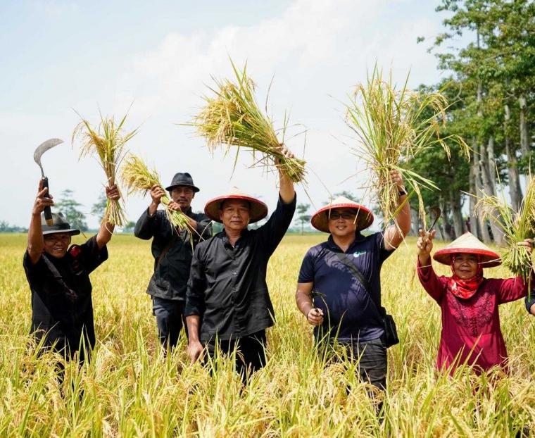 Ikut Ngarit Padi di Indramayu, Kang Hasan Ingin Tingkatkan Taraf Hidup Petani Jabar