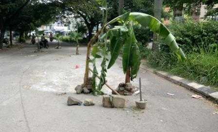 Tanam Pohon Pisang di Tengah Jalan, Demo Kreatif Lawan Pengembang Nakal