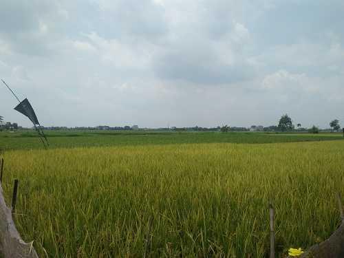 Petani Lampung Menggeliat, Padi Senyum Merekah