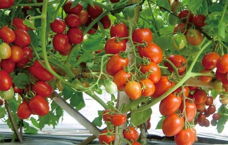Yuk Bikin Rumah Makin Hijau Dengan Menanam Tomat Di Pot Halaman All Kompasiana Com